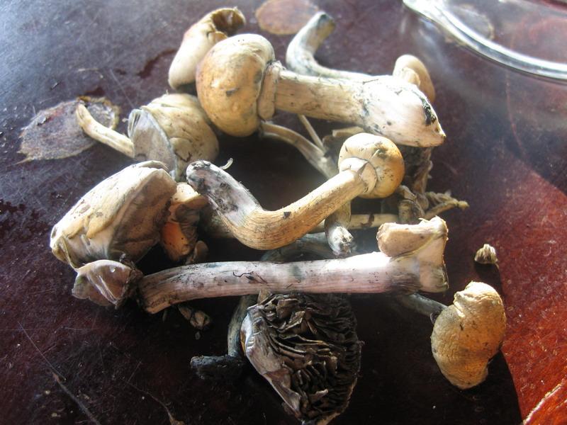 Psilocybe cubensis, aka Mexican magich mushrooms.
