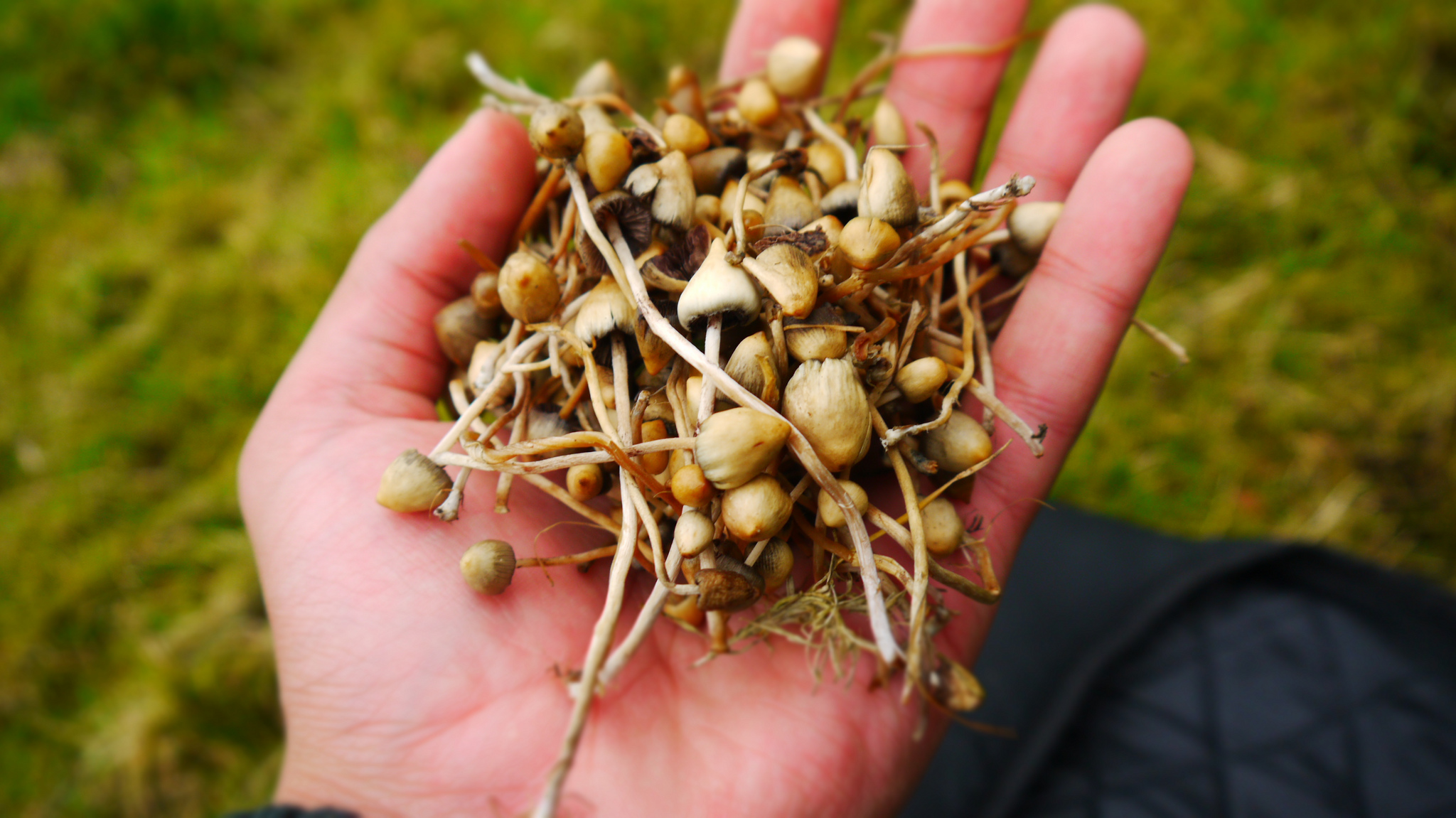 Fungal Therapy The Debate Over Magic Mushrooms In