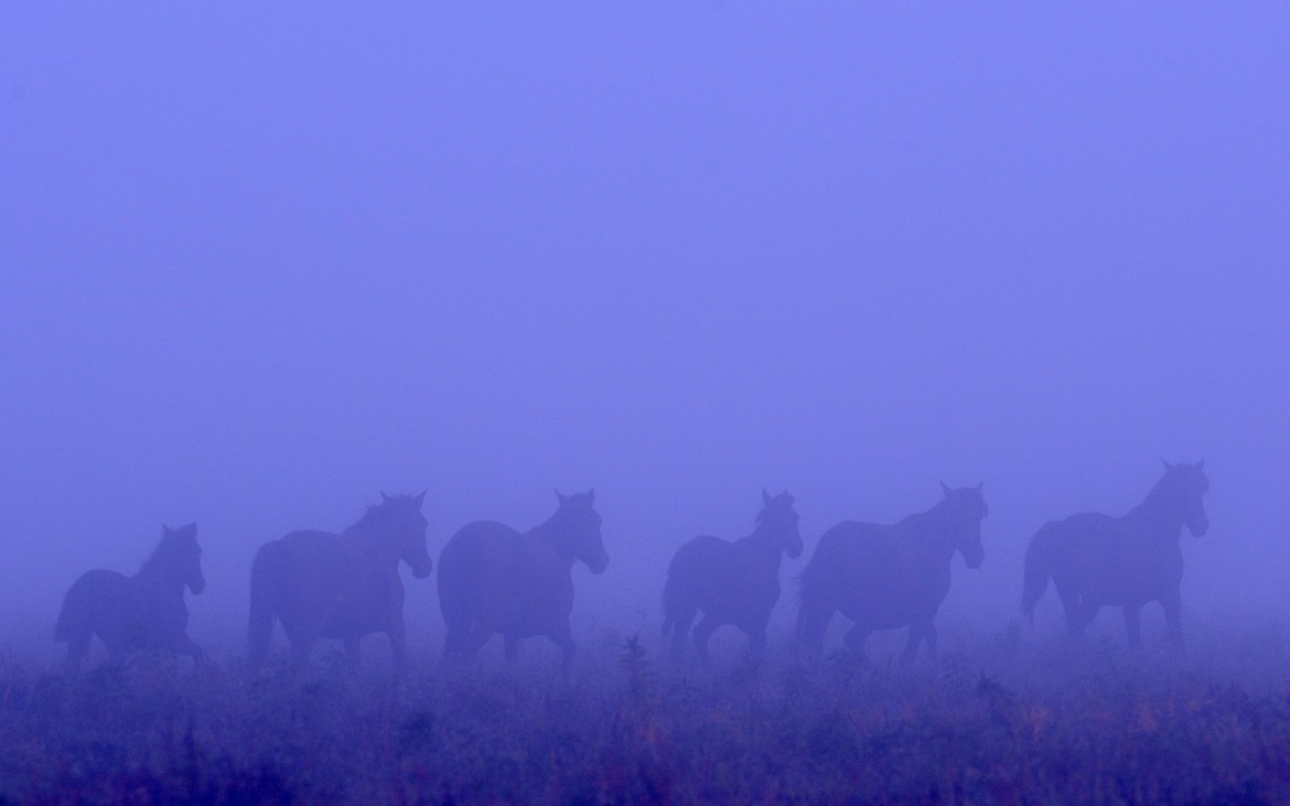 Wild horses of the Danube Delta, Romania