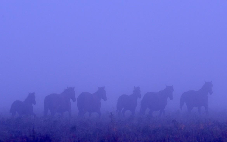 Wild horses of the Danube Delta, Romania