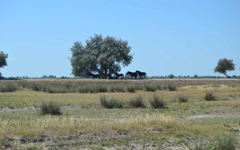 Wild Horses of Letea