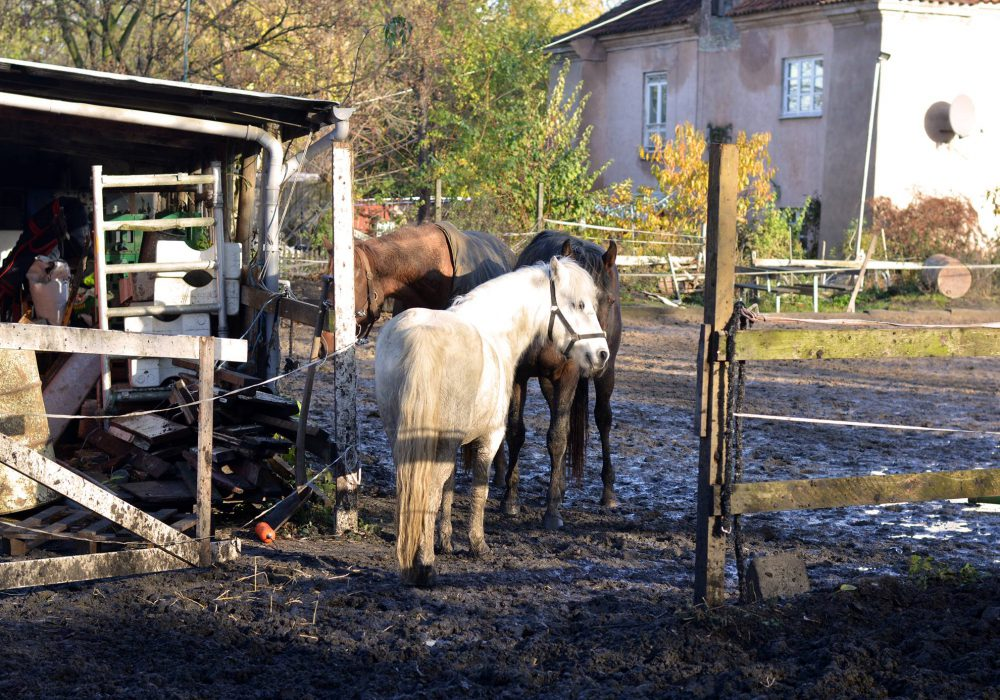 Horses in the paddock at Christiania