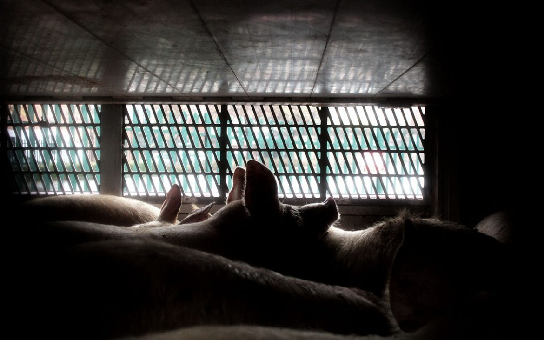 Pigs in truck