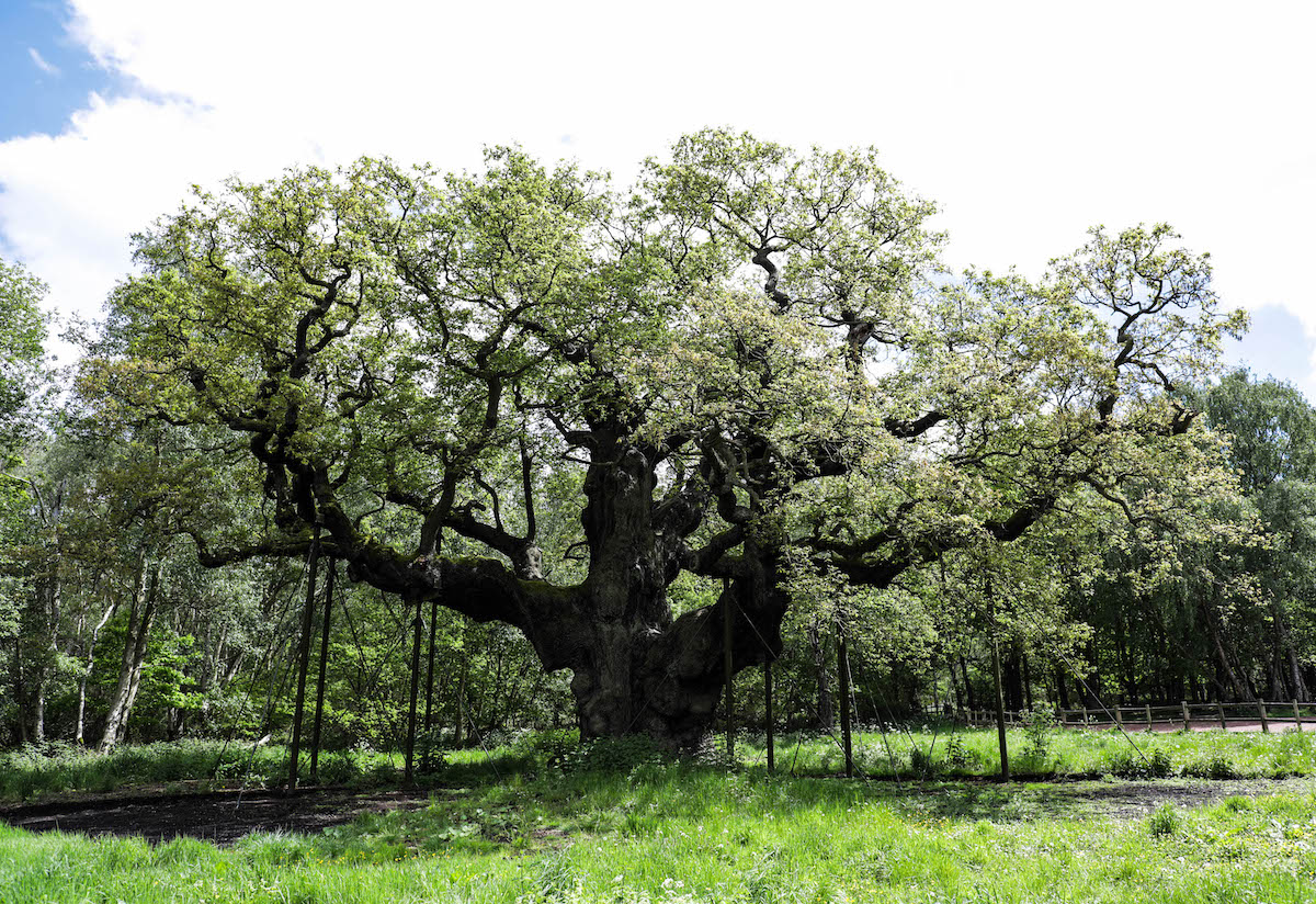 Major Oak tree Sherwood Forest