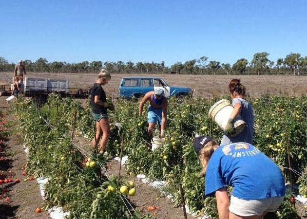Tomato farm, Bowen. Photo by Brittany O'Neill