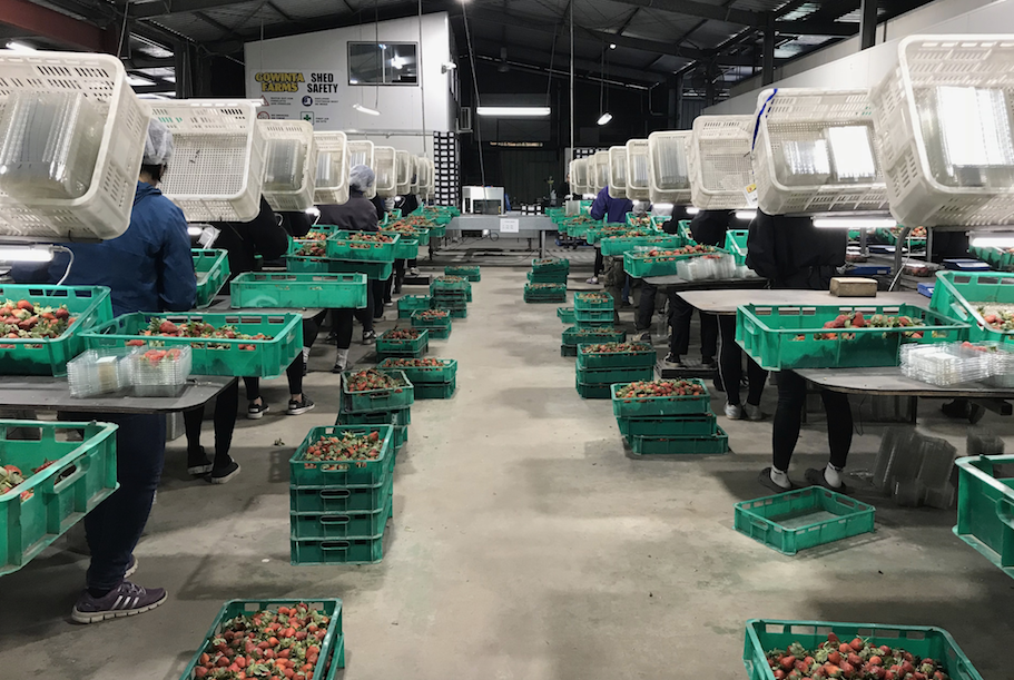 Strawberry farm packing shed