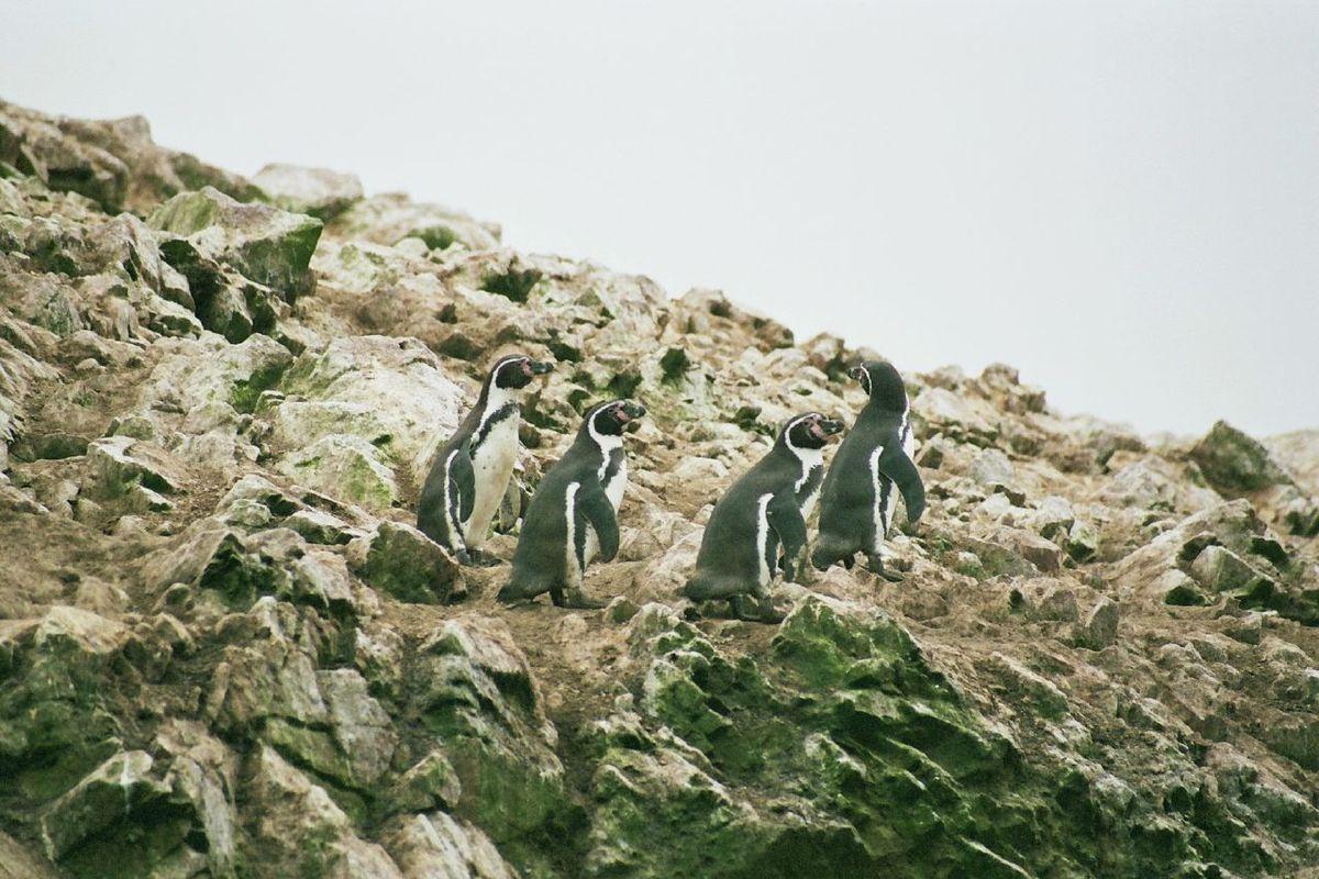 Humboldt penguins in their natural habitat in Peru.