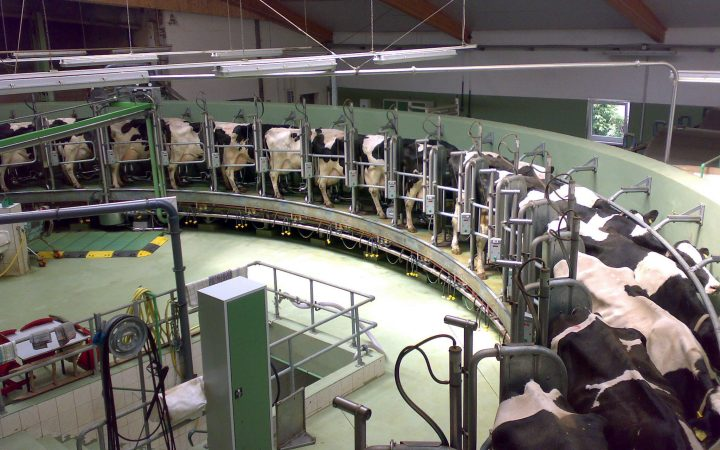 Cows being milked by a machine