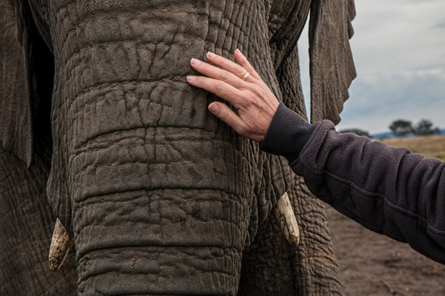 Man petting African Elephant with small tusks