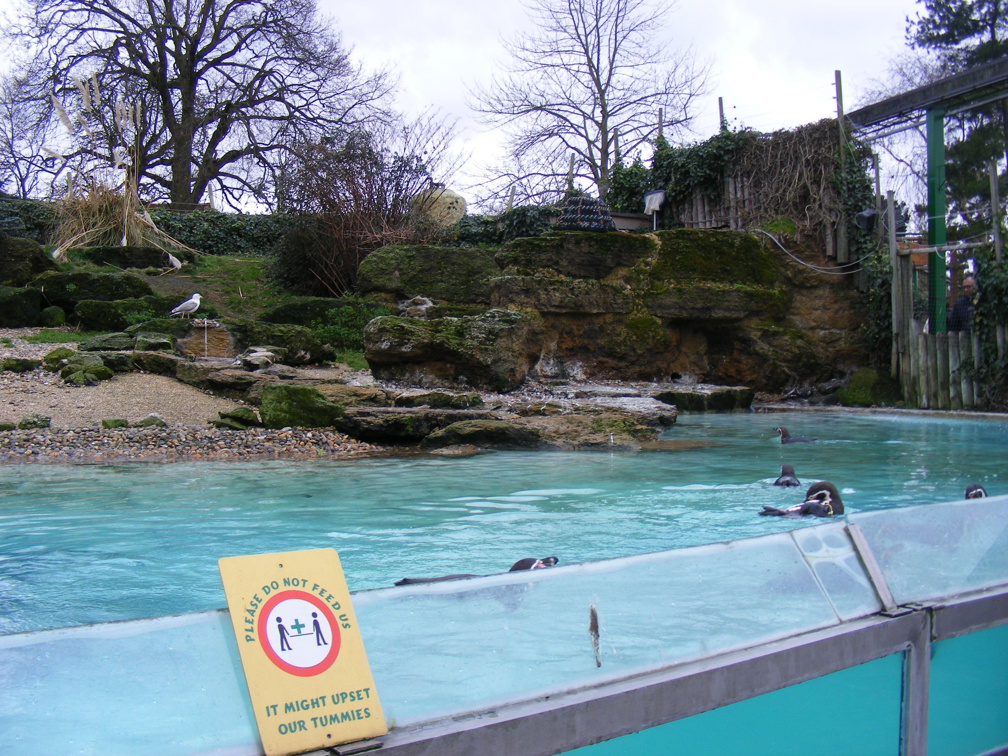 Humboldt's penguin enclosure at Chessington Zoo, Surrey