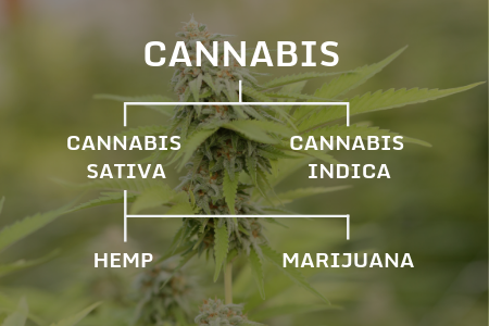 Pedigree chart showing the differences in Hemp and Marijuana
