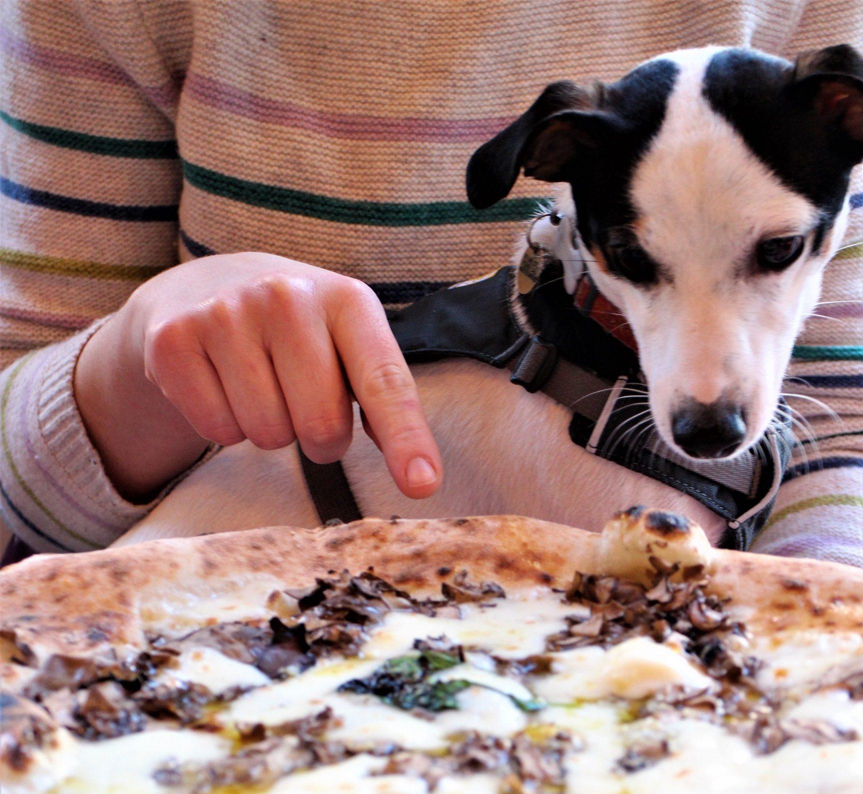 Dog staring at a pizza