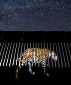 Jaguar by a border fence