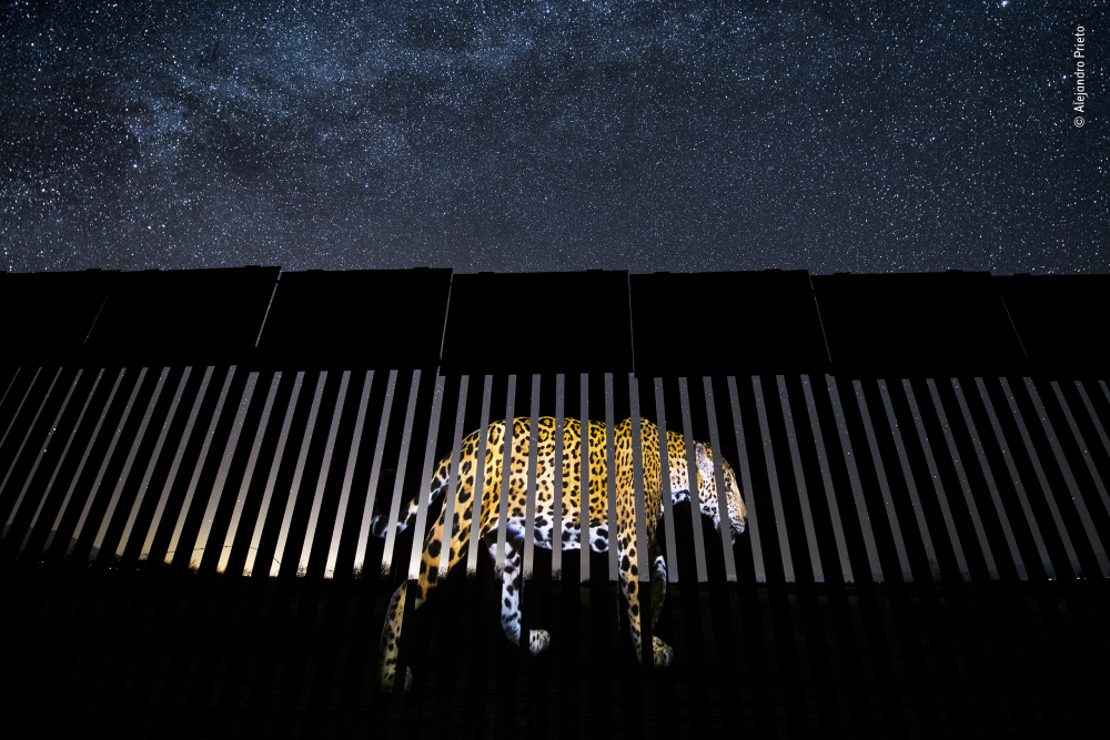 Photograph by Alejandro Prieto of a jaguar being projected onto the US-Mexico border