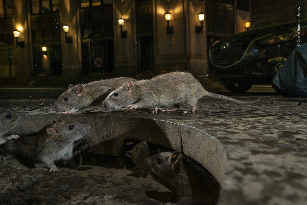 Photograph by Charlie Hamilton James of rats in Manhattan