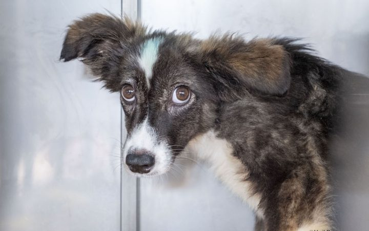 A portrait of a frightened dog looking into the camera. His fur is stained with blue paint and his eyes are scared.
