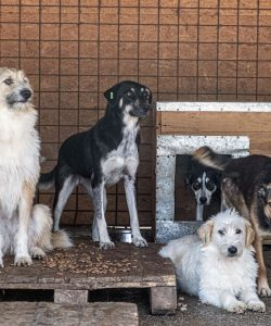 Six dogs stand and lay next to eachother in their paddock in the Romanian shelter Smeura.