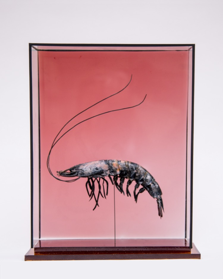 A taxidermy prawn