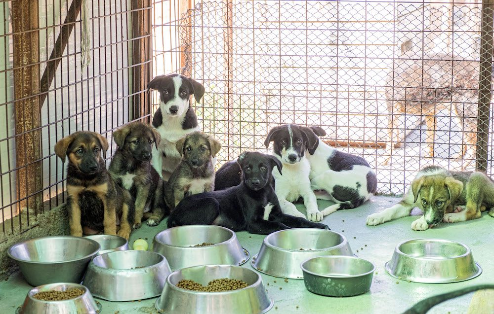 8 puppies sit in the corner of their paddock with bowls of food in front of them.