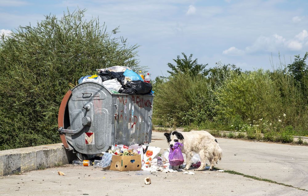 A street dog with dirty fur is looking for food in a container of trash. The dog walks away with a plastic bag of waste in his mouth.