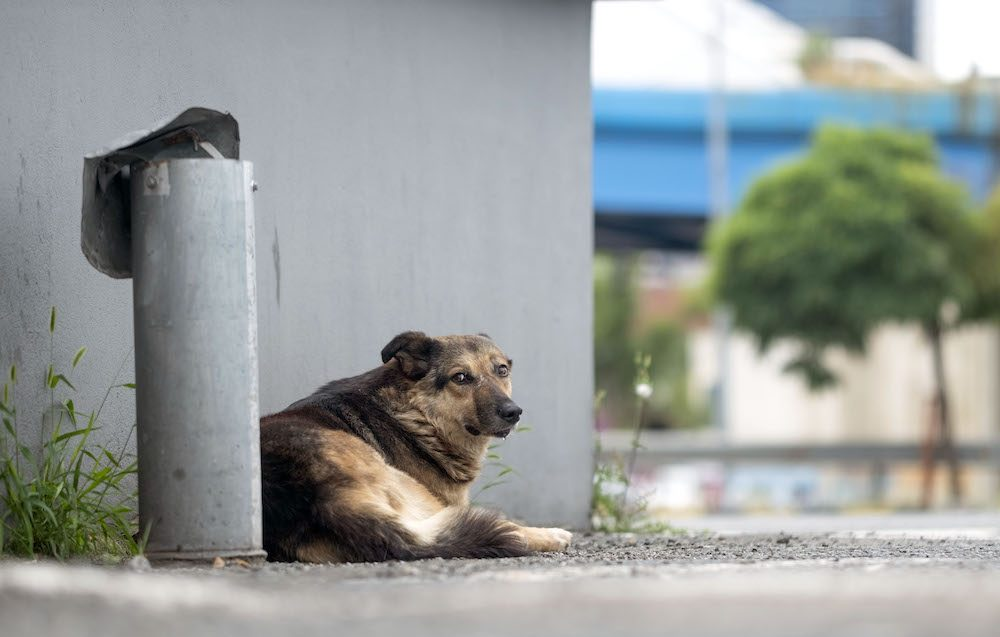 A dog lays on the side of an empty road, next to a grey building. He looks directly into the camera, with a frightened face.