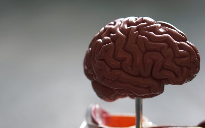 Plastic model of a human brain