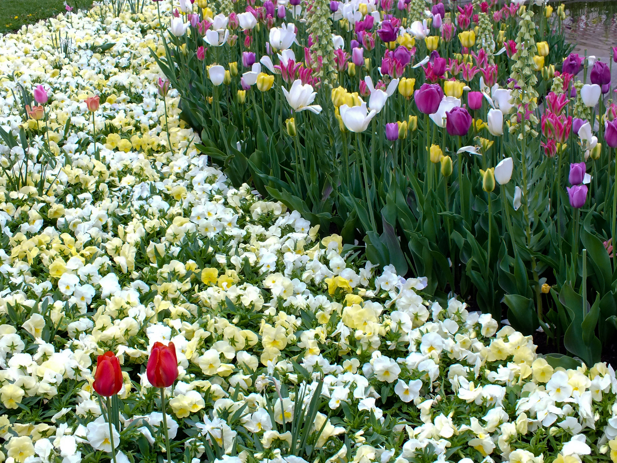A sea of white and yellow flowers in Lund park in Sweden.