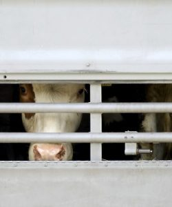 A truck of cows is in transit and one of the cows is looking through the an open section with metal bars, looking straight into the camera.