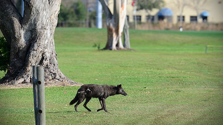 Coyote walking across a golf course with buildings in the background