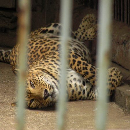 Leopard lying down, shot through the bars of an enclosure