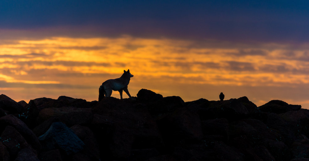 Silhouette of a Coyote on top of mountains during sunset