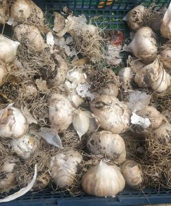 Fresh garlic bulbs at a farmers market. Garlic is brown from the dirt it was recently harvested from.