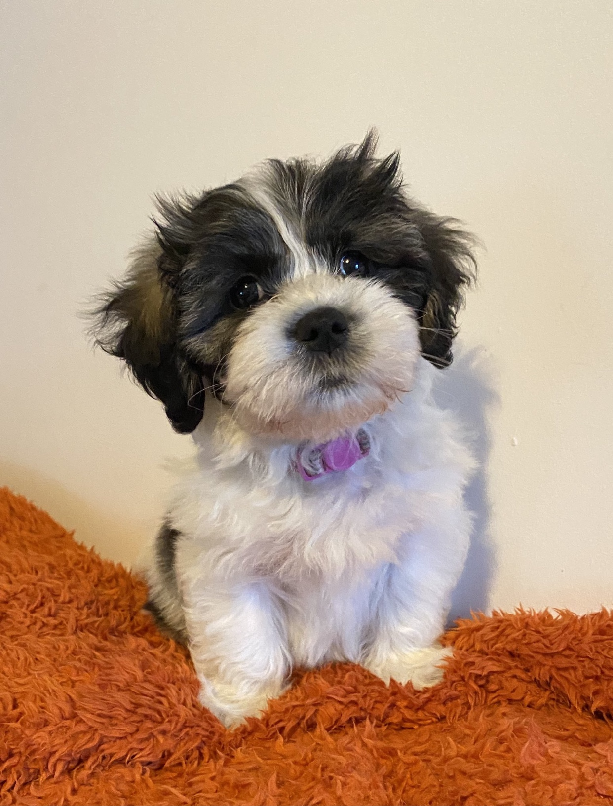 black and white, fluffy puppy with purple collar